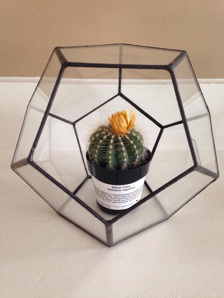 Notocactus magnificus in a dodecahedron terrarium.